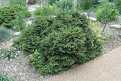 pumila spruce.jpeg