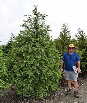Hemlocks, Canadian 8 foot.JPG