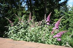 pink delight butterfly bush.jpg