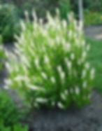 clethra summerset shrub.jpg