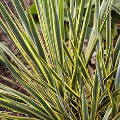 yucca shrubs.jpg