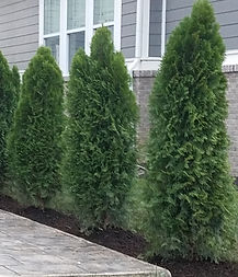 Arborvitae%20screening_edited.jpg