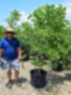 Redbud, 6-7 foot 25 gallon container clu