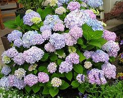 all summer hydrangea.jpg