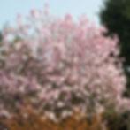 leonard messel magnolia.jpg