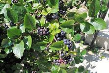 viking black chokeberry.jpg