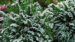 hummingbird summerset shrub.jpg