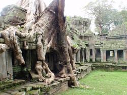 Creeping trees over Angkor Wat