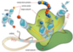 Ribosome_mRNA_translation_en.jpg
