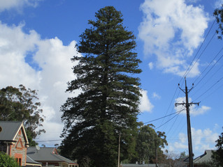 8.The Town I Loved So Well: Images of Gawler SA. Norfolk Island Pine