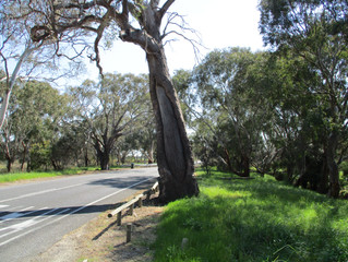 Iambic Images 32 - Canoe Tree