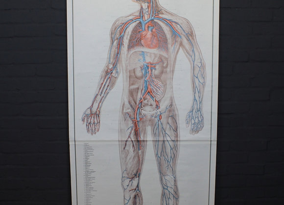 Anatomical Human Chart