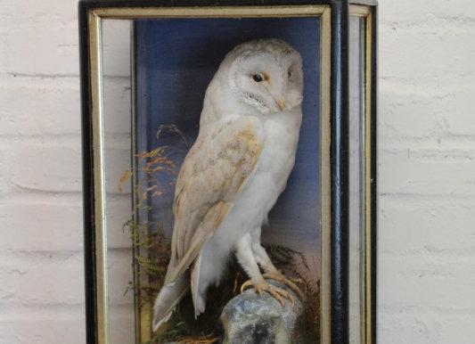 Taxidermy Cased Barn Owl