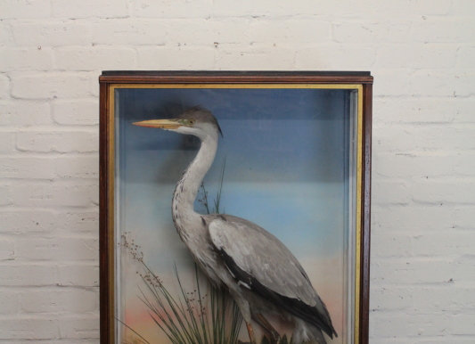 Taxidermy Cased Heron