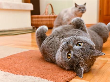 O que você precisa saber para manter seu gato saudável?