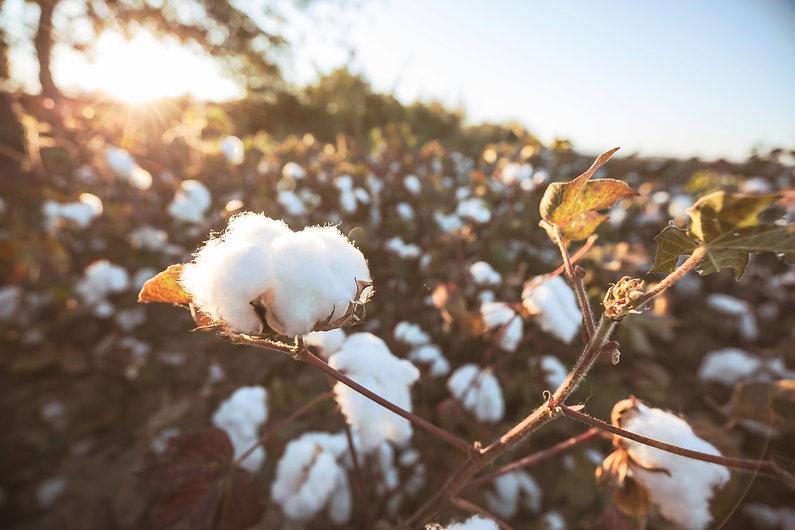 cotton-4BGP92J.jpg