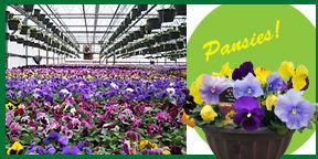 Pansies collage .jpg