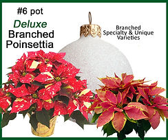 6 inch branched select 749 2017.jpg