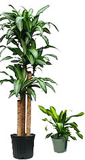 Dracaena Corn Plant.jpg