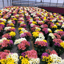 Easter mums growing at our farm.jpg