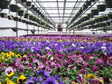 pansy_b_greenhouse.jpg