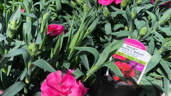 Perennials are here