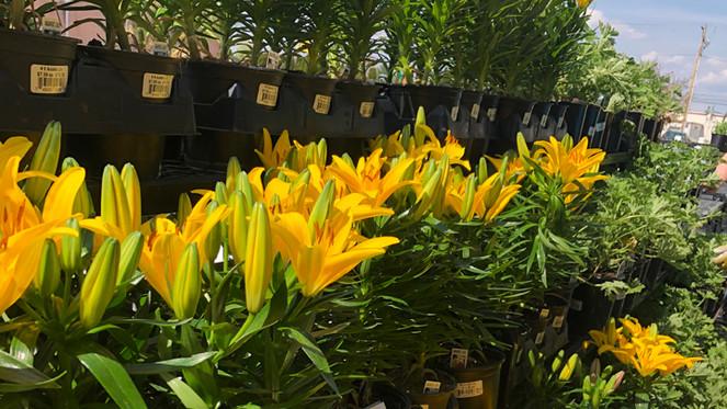lilies 422.jpg