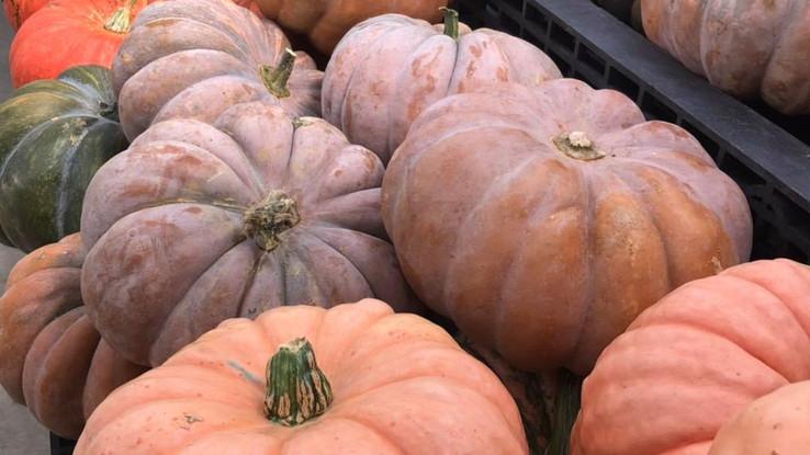 pumpkins cinderella .jpg