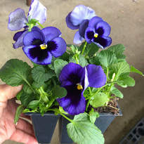 pansy pack