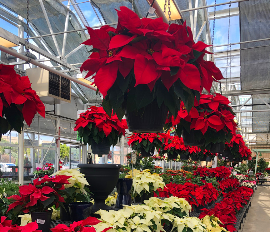 Poinsettias GALORE