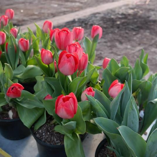 6 inch tulips