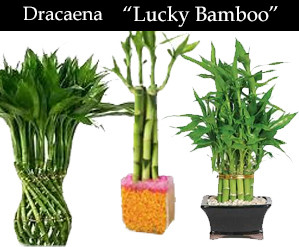 dracaena lucky bamboo.jpg