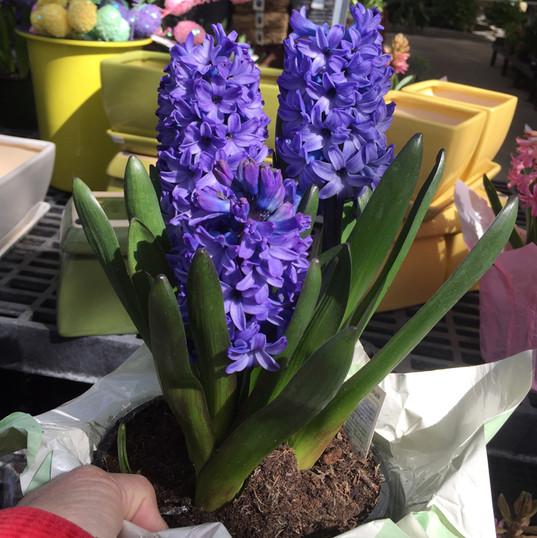 """hyacinth 6 """""""