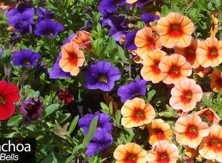 Calibrachoa..why you should plant some  (especially if you have a sunny garden)