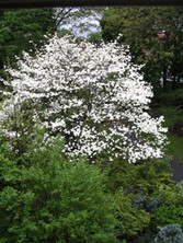 Blooming Dogwood tree.