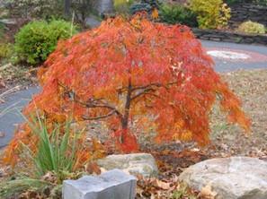 Red-Orange Japanese Maple.