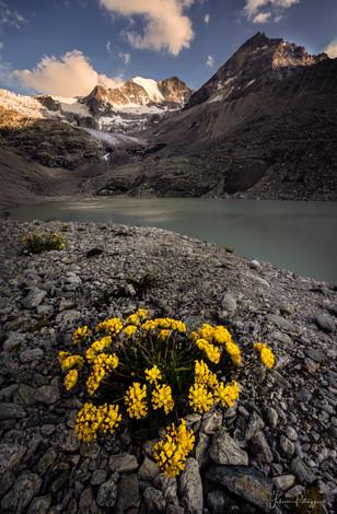 Fleurs des Glacier