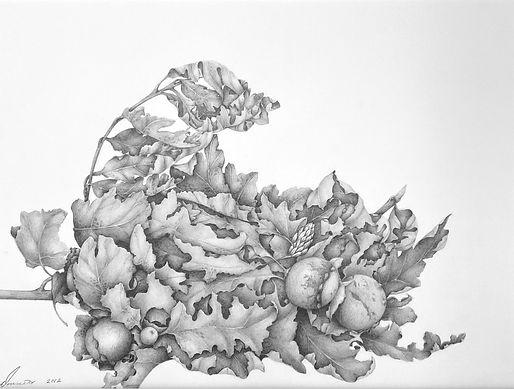 Oak Leaves & oak gall