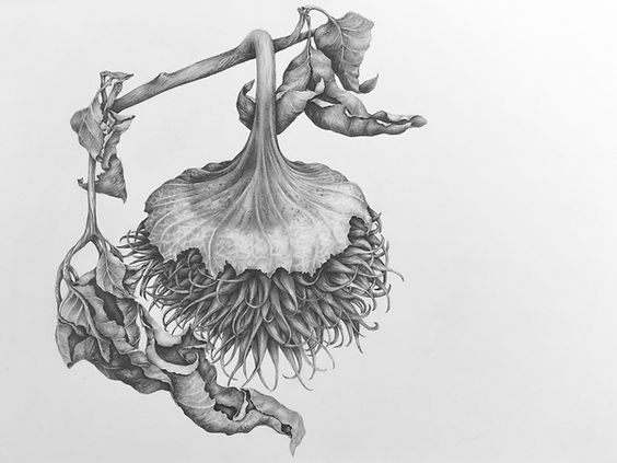 Jimsonweed seedpod-graphite