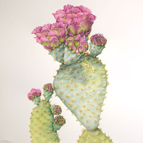 Opuntia basilaris var. treleasei ; Bakersfield cactus. An endangered cactus endemic to Kern County, California.
