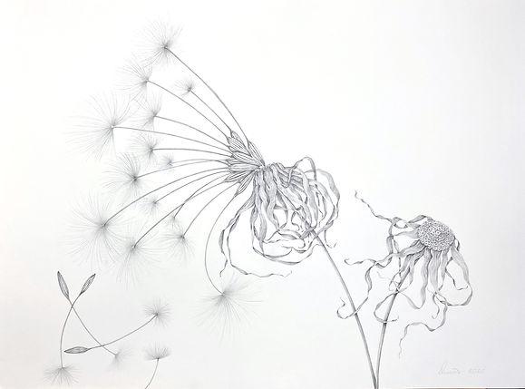 Giant Mountain Dandelion