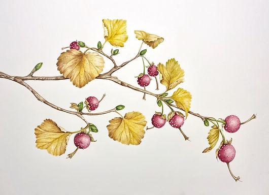 Wax Currant (Ribes cereum var.cereum)