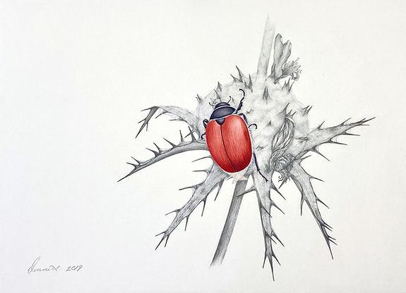 Paracotalpa ursing (Little Bear or Carrizo Beetle)