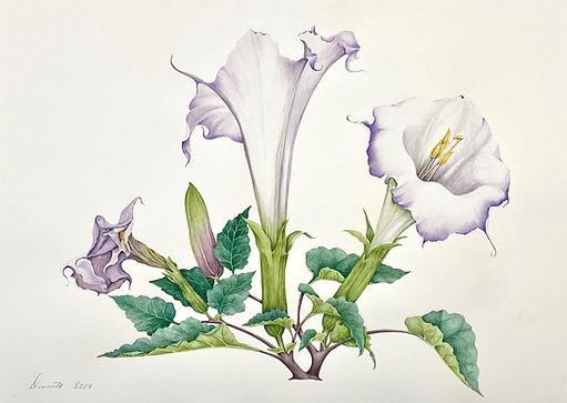 Jimsonweed Blossom