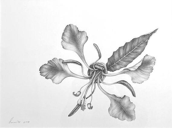 elegant clarkia-graphite