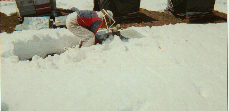 digging out bee yard