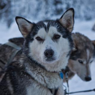 Lappland huskies