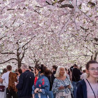 Stockholm Cherry Blossoms