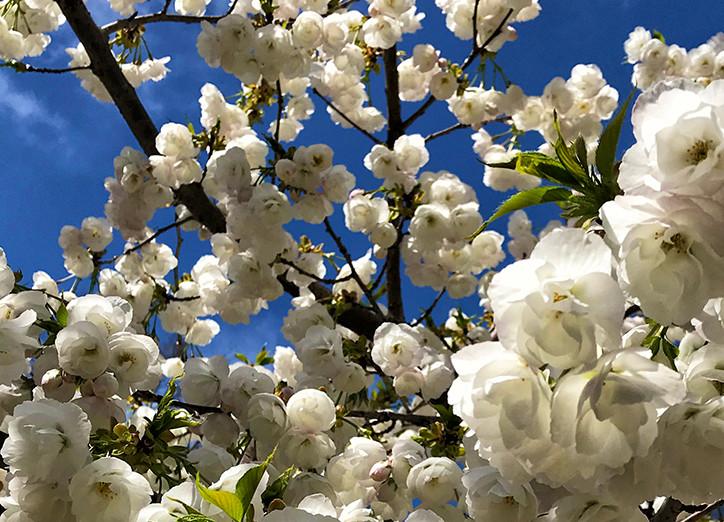 Cherry Blossoms 2018.jpg