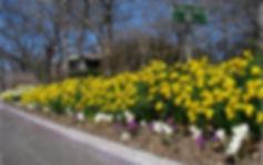 Daffodils 2007 small.jpg